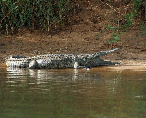 Nile crocodile-Crocodylus niloticus