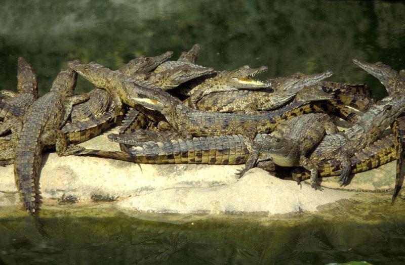 Crocodiles from Farm