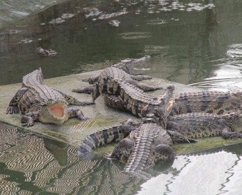 Genuine Nile Crocodiles