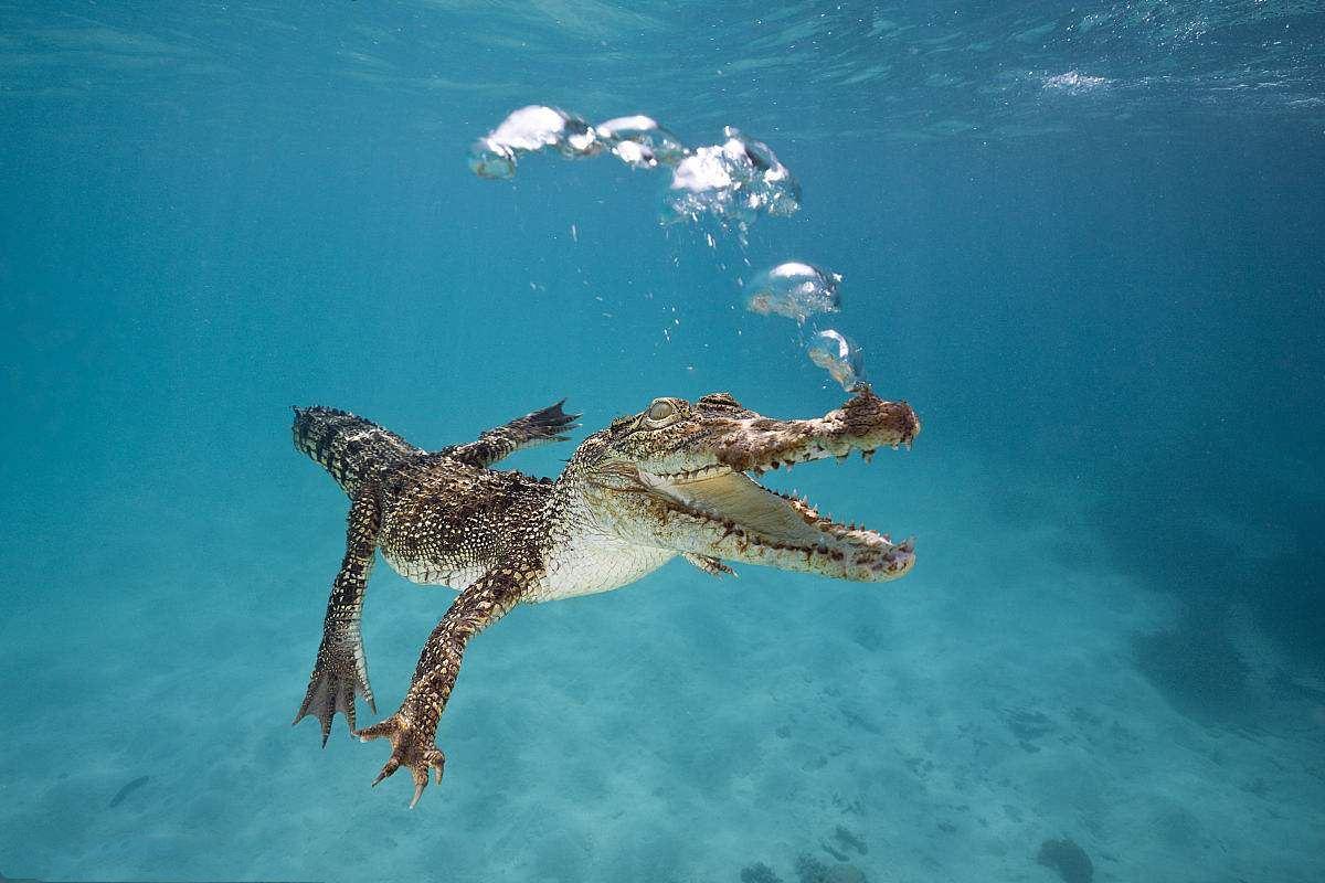 Saltwater Crocodile-1