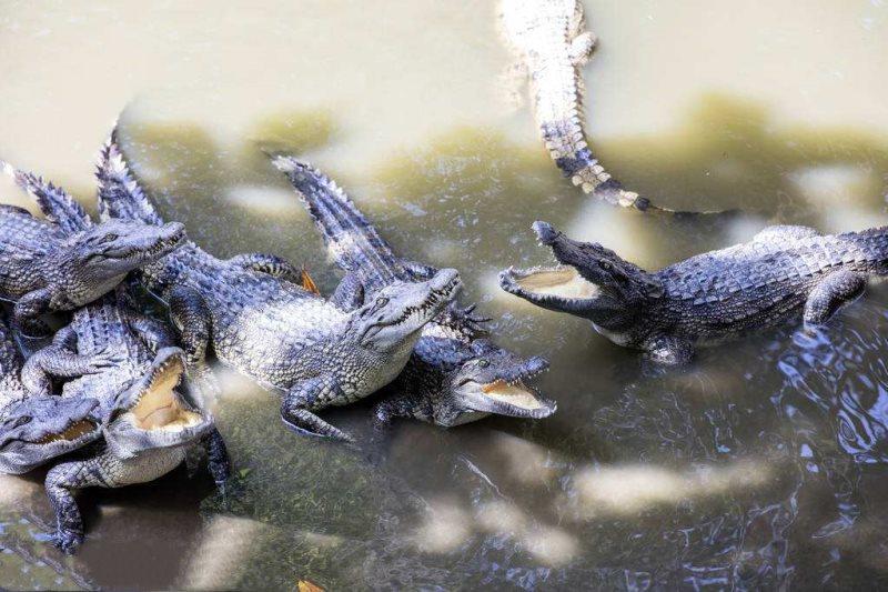 Siamese Crocodile-1